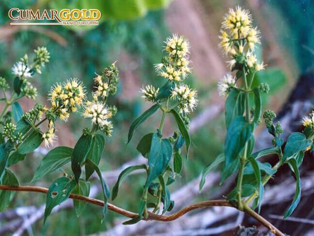 Dạ cẩm là cây thuốc nam có tác dụng chữa viêm loét dạ dày