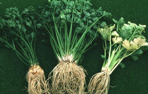 rễ rau củ giúp phòng chống ung thư