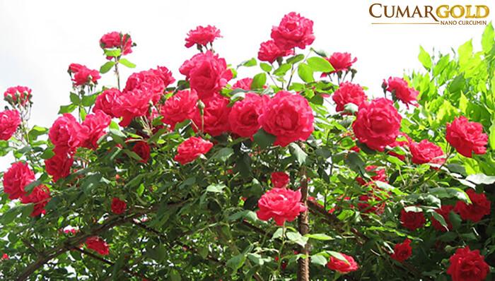 chữa viêm hang vị bằng cây hoa hồng