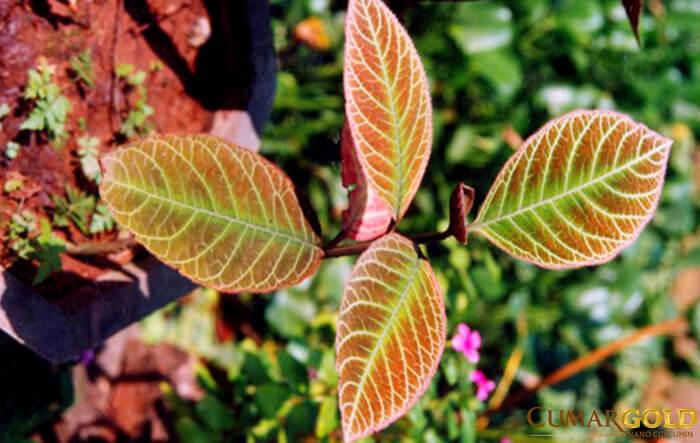 Lá khôi tía có chứa nhiều tanin và glucoside rất tốt trong việc điều trị viêm hang vị
