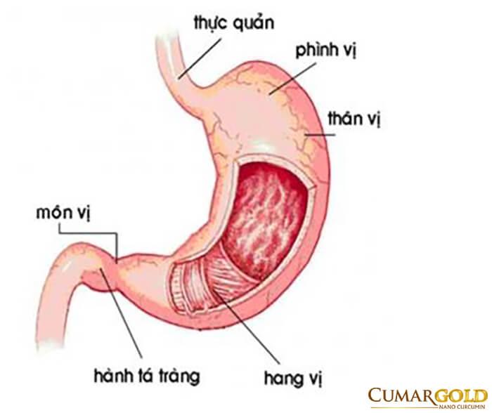 Tiền môn vị là bộ phận cuối cùng của dạ dày, nằm ngang từ góc bờ cong đến cuối môn vị và ngay sau hang vị