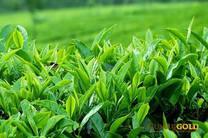 Đau dạ dày có uống được trà xanh không?