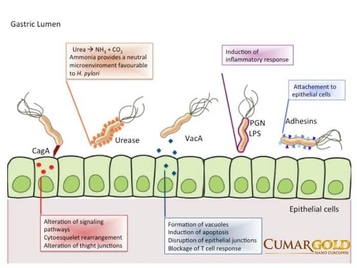 Các yếu tố độc lực của vi khuẩn H