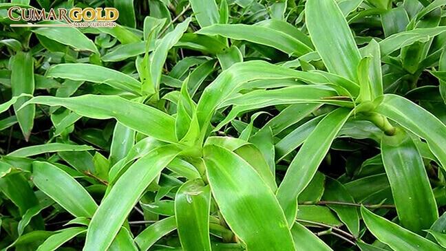 Cây lược vàng là cây thuốc chữa đau dạ dày hiệu quả